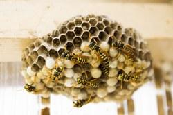 Intervenir en cas de nid de guêpes